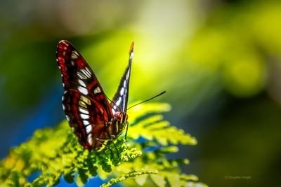 Butterfly On A Cedar Branch