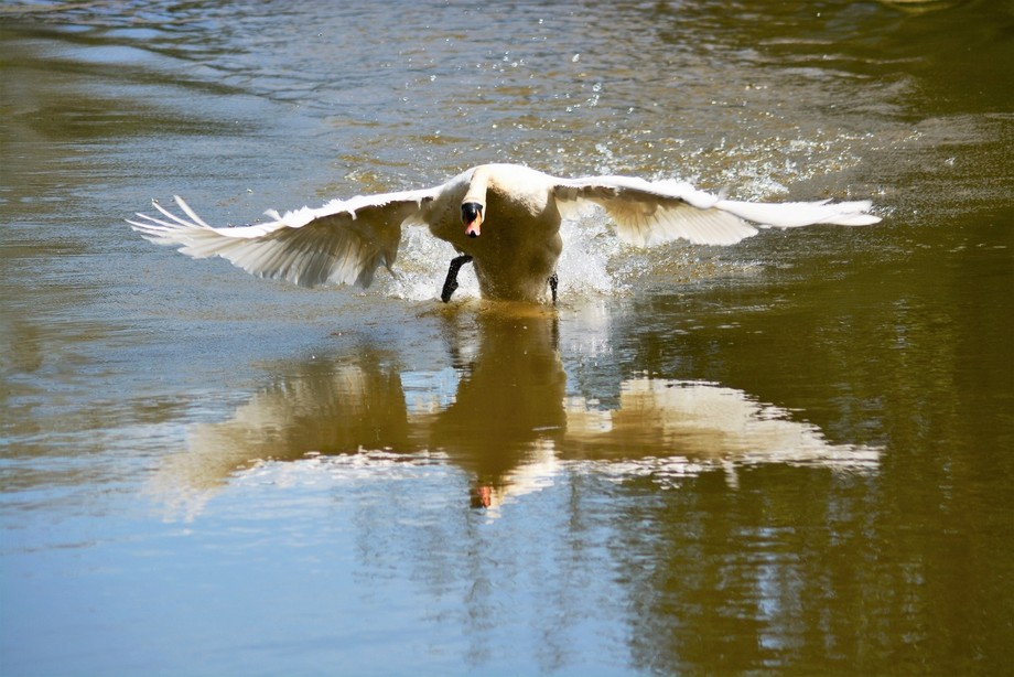 A protective swan attacks the camera as I get a bit to close.