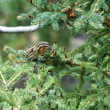 Chipmunk in a Pine Tree