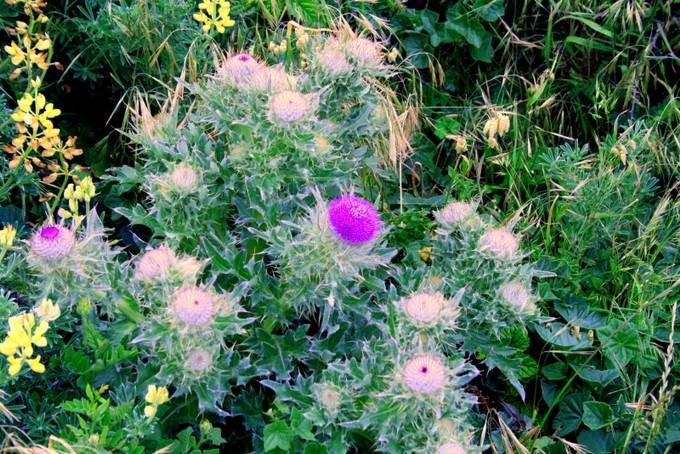 A long cursed plant in the Ozarks by cattlemen. The thistle is Scotland's national flower. Couldn't pass up its colors.