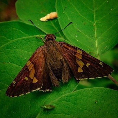 Silver-spotted Skipper is claimed to be the most recognized skipper, which have their own family separate from butterflies and moths.  #trailsend #silverspottedskipper #butterflies #moth #insects #macro #closeup #butterflyphotography #macrophotography #po