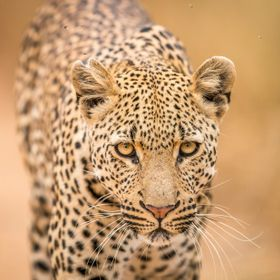 Male Leopard walking towards the camera in the Kruger National Park, South Africa.