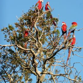 Hundreds of Ara's can be found around the Buraco das Araras, near the city Bonito in Brazil.
