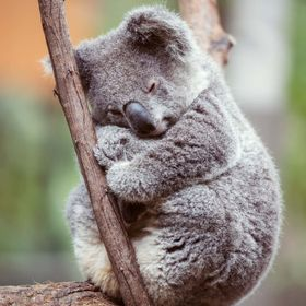 The koala is about 60 to 85 cm (24 to 33 inches) long and weighs up to 14 kg (31 pounds) in the southern part of its range (Victoria) but only ab...