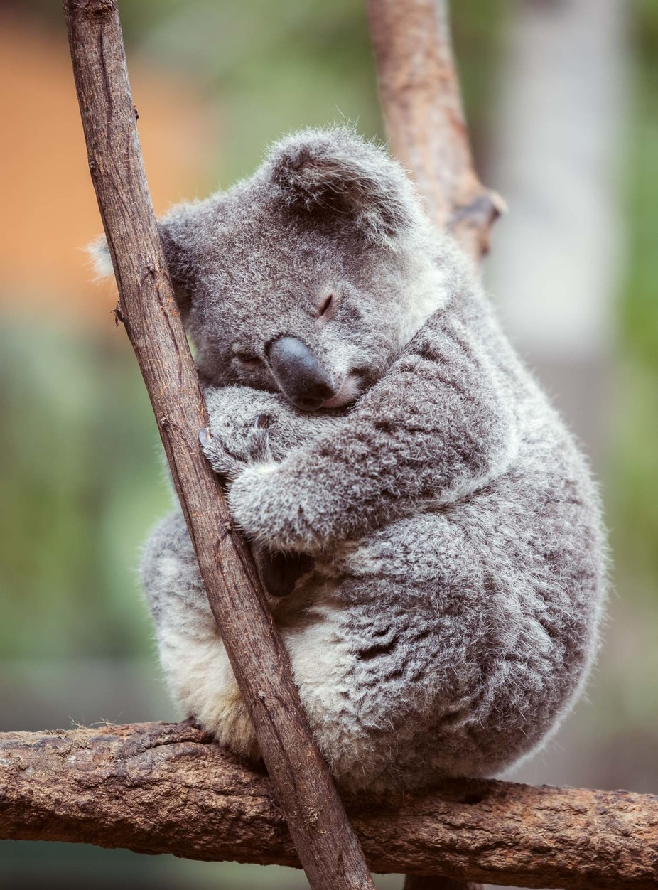 Koala bear by whitevintagephotography - Bears Photo Contest