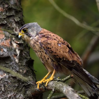 Common kestrel, adult male, after fight (Falco tinnunculus)