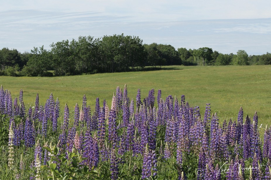 A field of lupins
