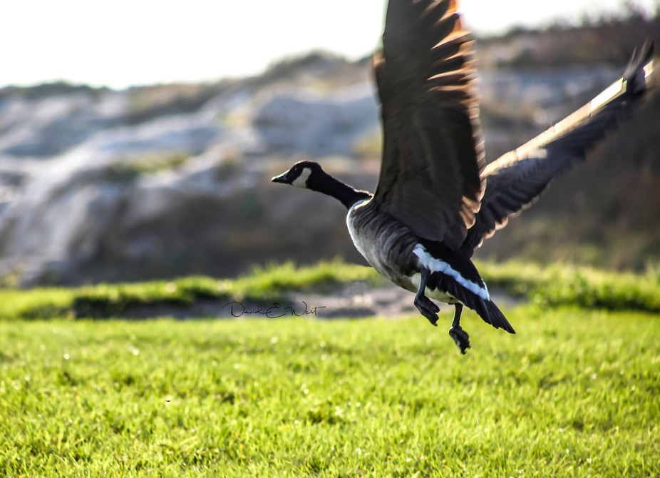 Canadian geese are pretty special birds. Their take-offs and landings are legendary. Capturing on...