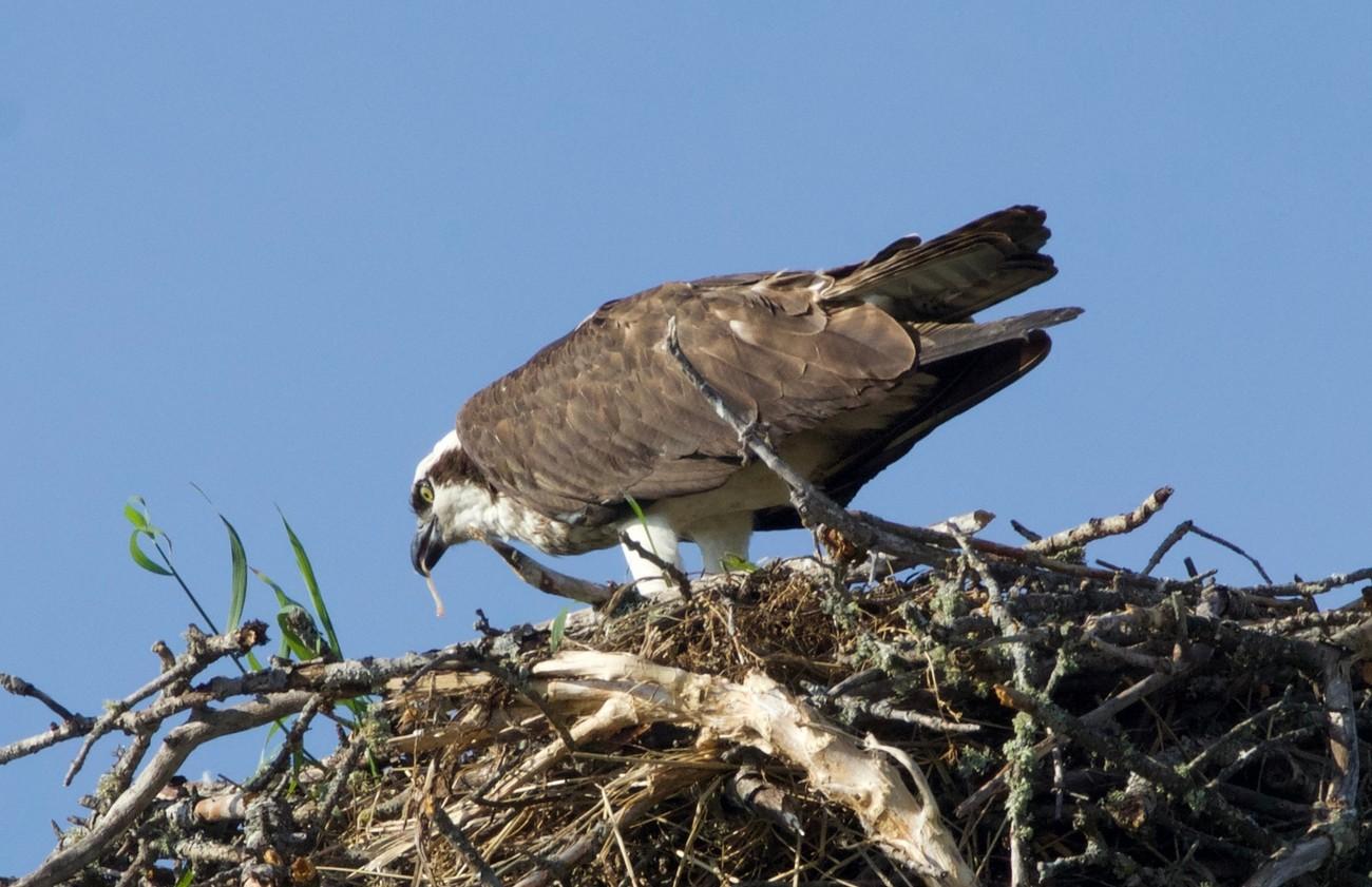 Osprey breakfast