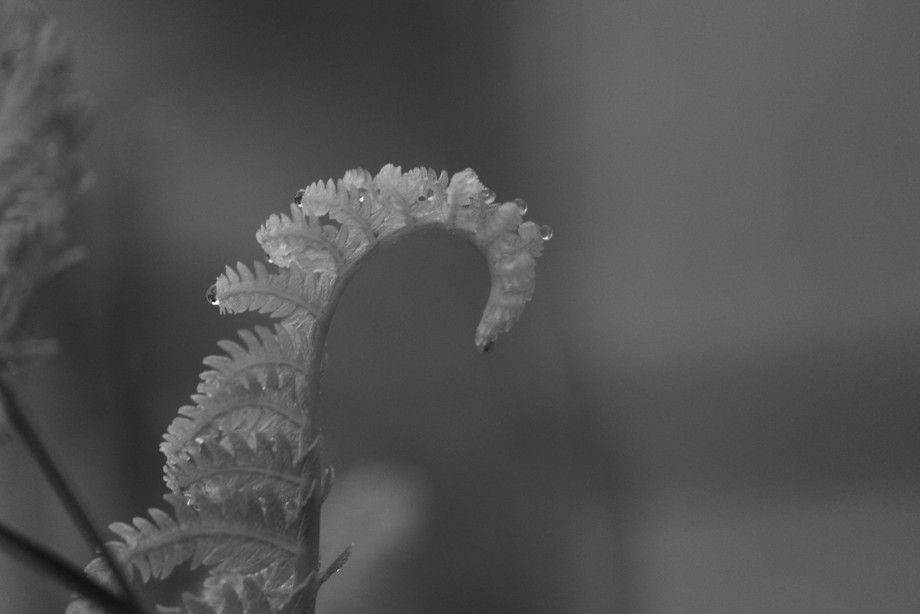 A single fern with water droplets positioned on the edged of its tiny leaves. Taken at the start of dawn on June 29, 2018- Brantford, Ontario