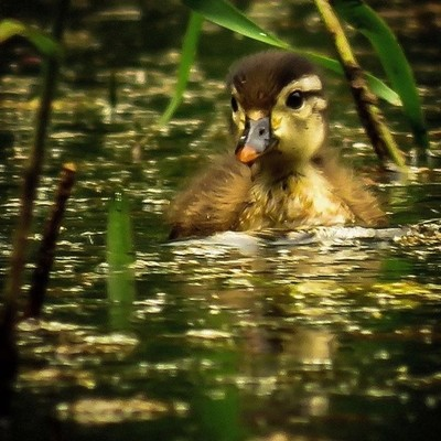 This Wood Duck chick is the most independent of the brood of five I have been observing.  #trailsend #woodduck #chick #birds #ducks #birding #birdphotography #birdwatching #wander #wetlands #outthebackdoor #backyardnature #canon_photos #canonphotography #
