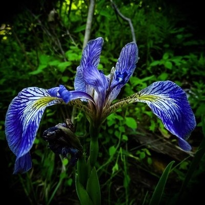 Northern Blue Flag Iris from a couple of weeks ago. Beautiful flower , composition difficult.  #trailsend #northernblueflagiris #wildflowers #wildflowerphotography #macro #macrophotography #outthebackdoor #backyardnature #pocket_flowers #raw_flowers #cano
