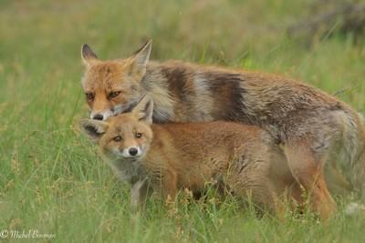 Red fox ( Vulpes vulpes )
