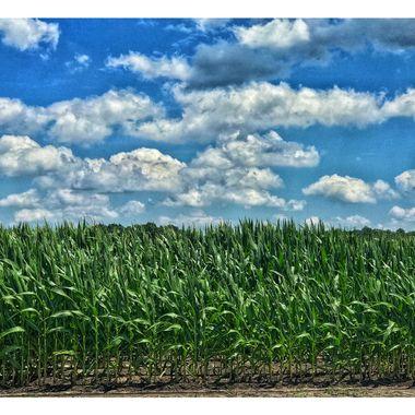 Summer corn with bluesky