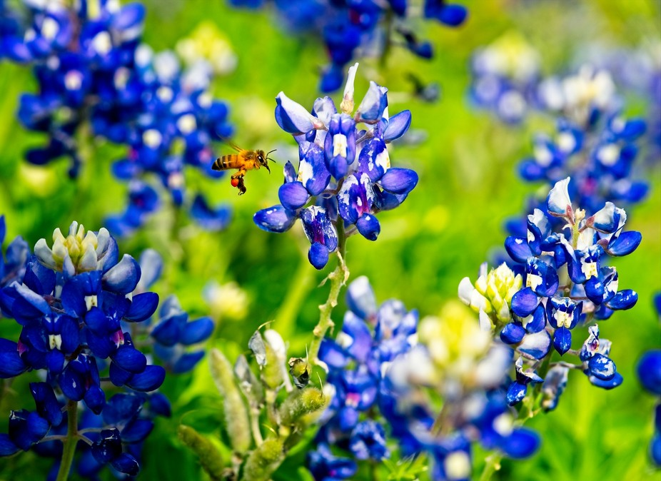 Spring time in Texas, bees and bluebonnets blossoms.