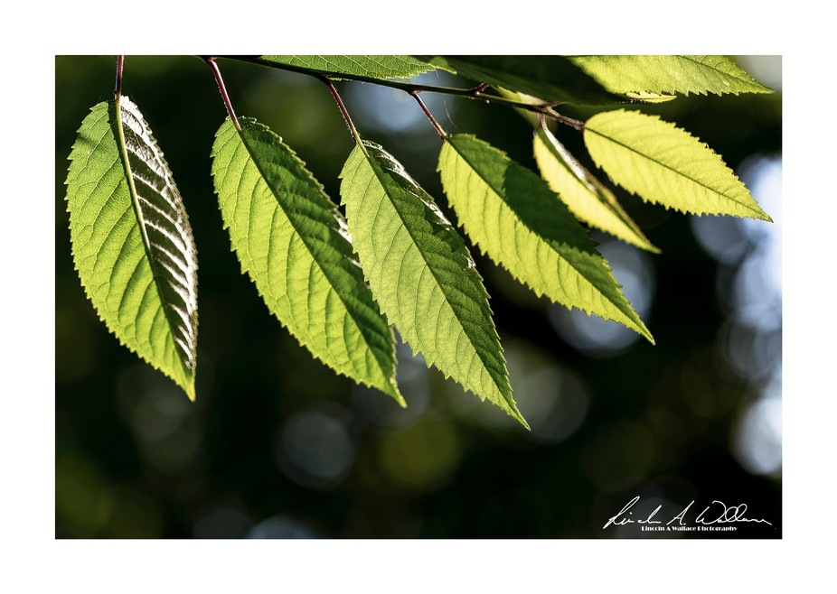 Birch (betula) Leaves