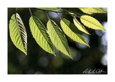 Birch (betula) Leaves
