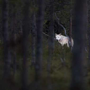 True wolf photographed in its true environment free in nature.