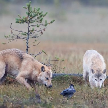 True wolfs photographed in its true environment free in nature.