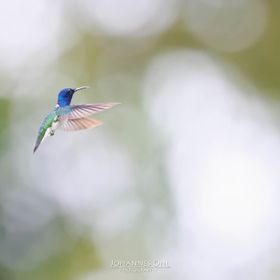 An adult male White-necked Jacobin (Florisuga mellivora) hovers with widely stretched wings in front of a bright, blurred background and shows it...