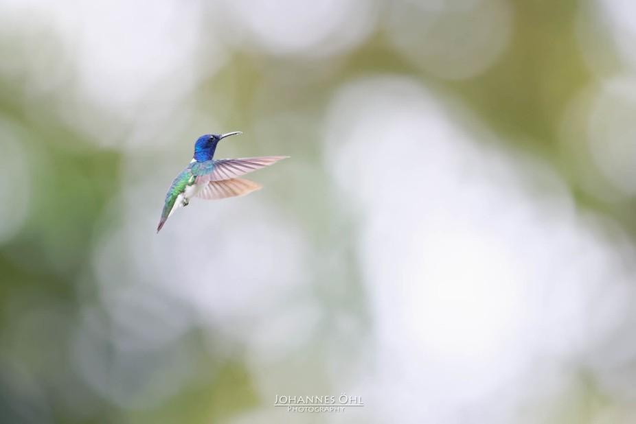 An adult male White-necked Jacobin (Florisuga mellivora) hovers with widely stretched wings in fr...