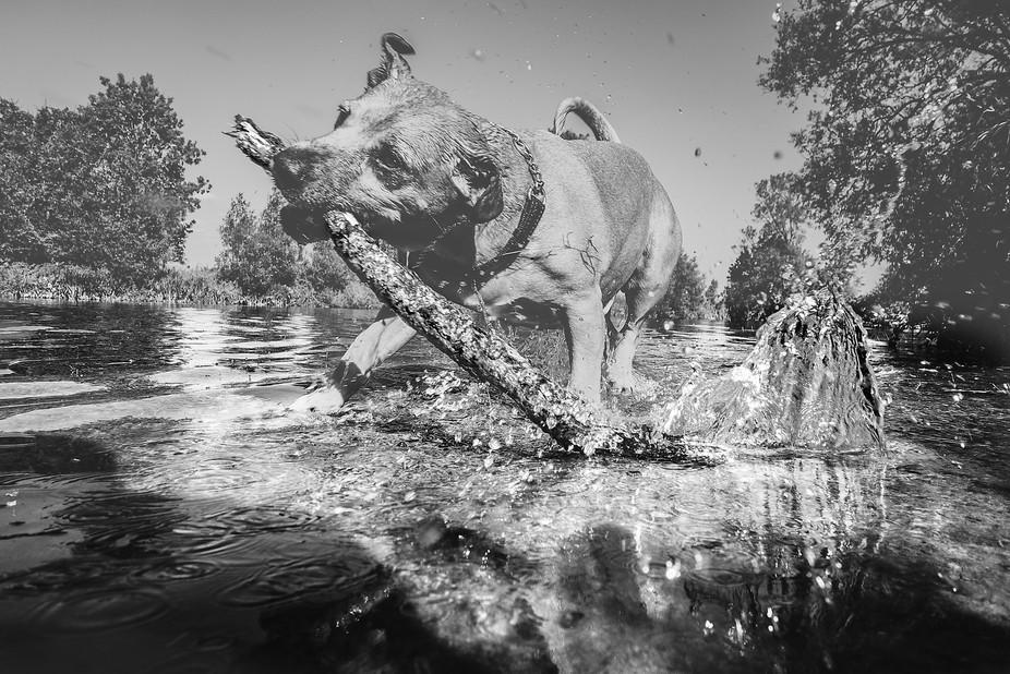 Kane enjoying a sunny sunday swimming with his stick