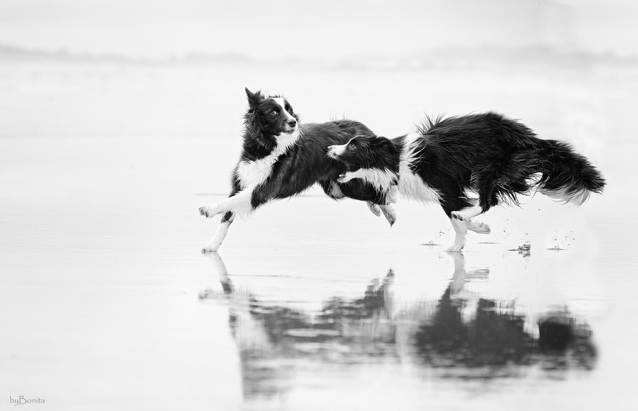 Border Collie, Sage and Jazz