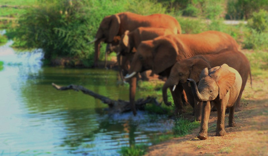 Breeding Herd of Elephant Drinking at the Waterhole Mid-day in the Madikwe Game Reserve, North We...