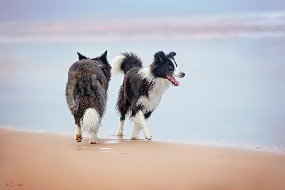 Sage and Jazz the Border Collies @ the beach.