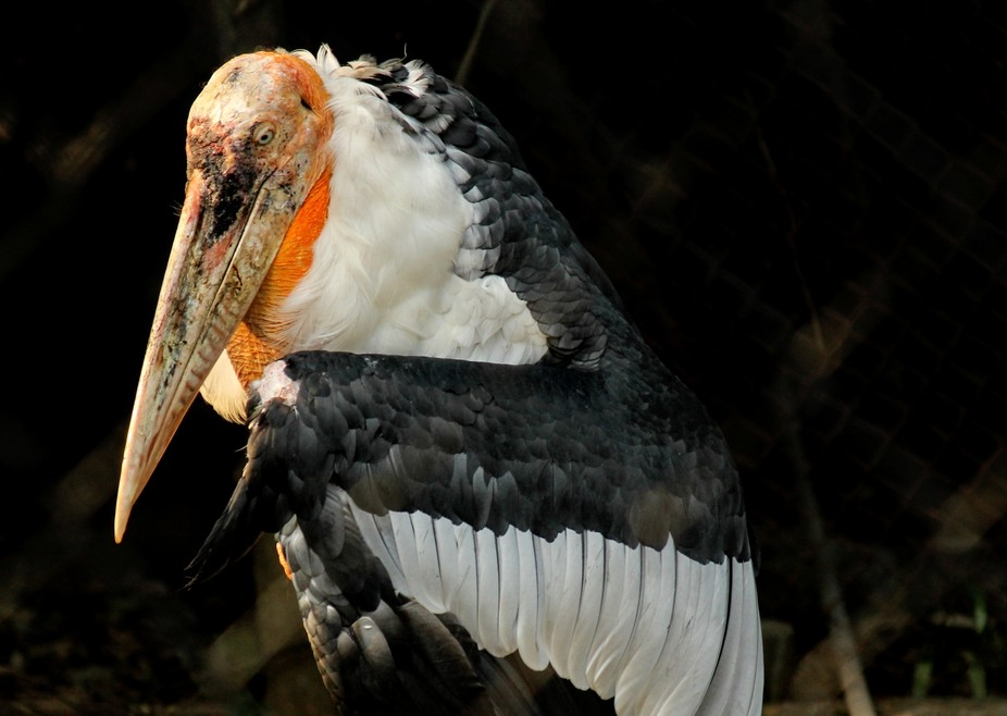 Stork vulture