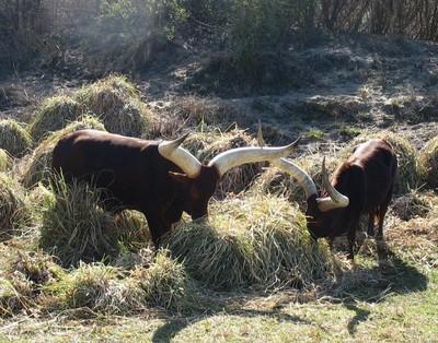 2010-02-28 Long Horn Cattle