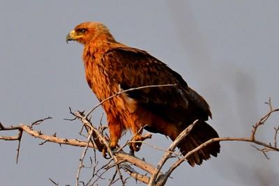 DSC_9247 Wahlberg's Eagle 1 v2 Namibia 2016_crrsh
