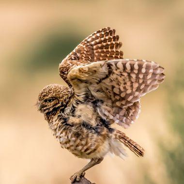 burrowing owl-5636