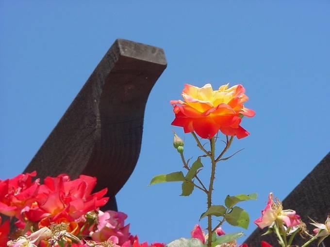 The Rose of San Juan Capistrano