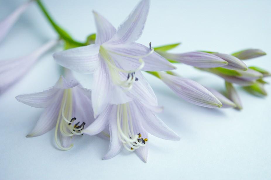Hosta Flower Dap