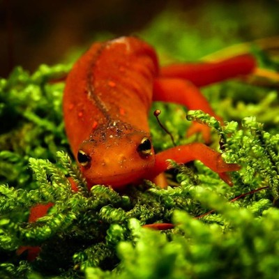 The Red Eft is the juvenile stage of the Eastern Newt. Aposematic coloration warns predators of it's tetrodotoxin ,which helps it live to ages of up to 12-15 years.  #trailsend #redeft #easternnewt #amphibian #macro #macrophotography #wander #wetlands #ou