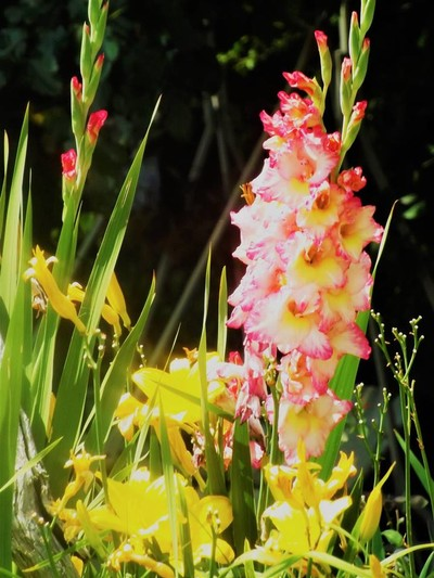 Gladioli And Lilies