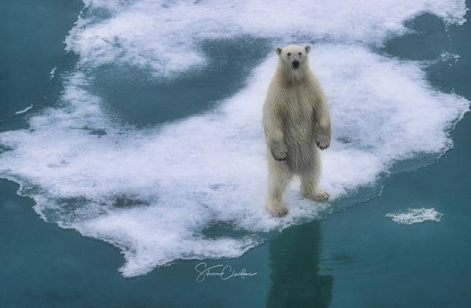 SHRINKING ICE by steveclevidence - Bears Photo Contest