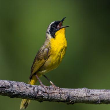 Common Yellowthroat-6177