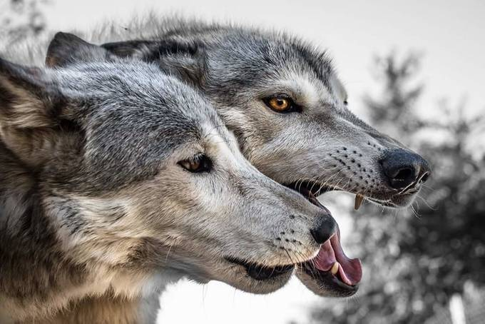 Fierce by kitsune_ck - Wolves Photo Contest
