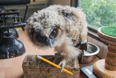 Baby Malaysian wood owl