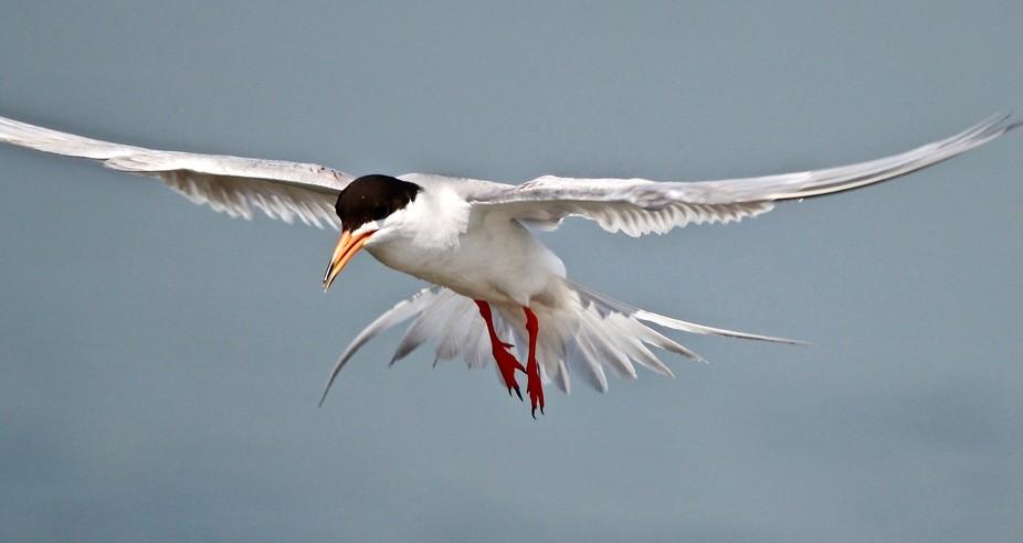 Forster Tern in Flight