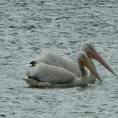 American Pelicans on a windy lake