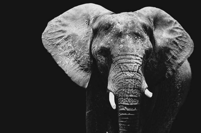 Elephant by KyleForemanPhoto - Our World In Black And White Photo Contest