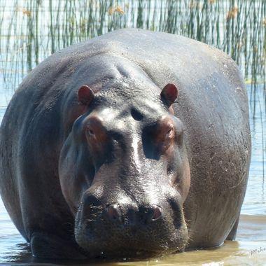 Beady eyed hippo
