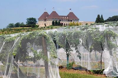 Vineyard at winery North Georgia, USA