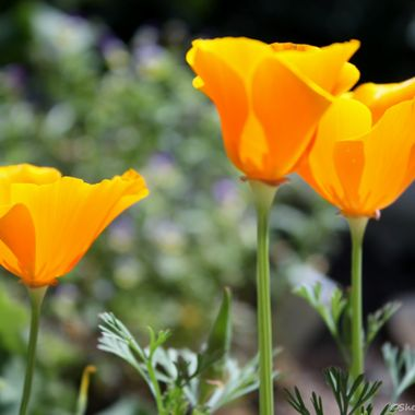 3 Yellow Poppies DBG v1 - Copy