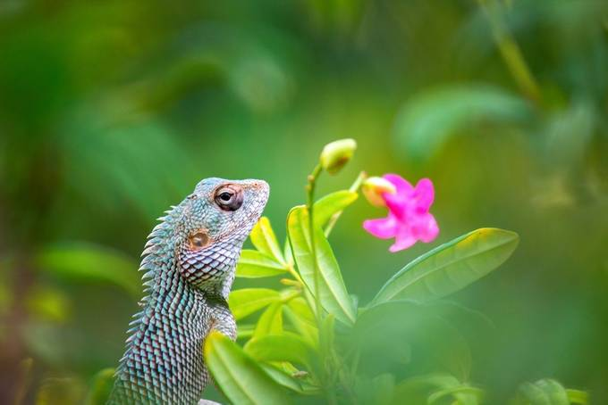 Garden Lizard by RobbieRoss - Image Of The Month Photo Contest Vol 35