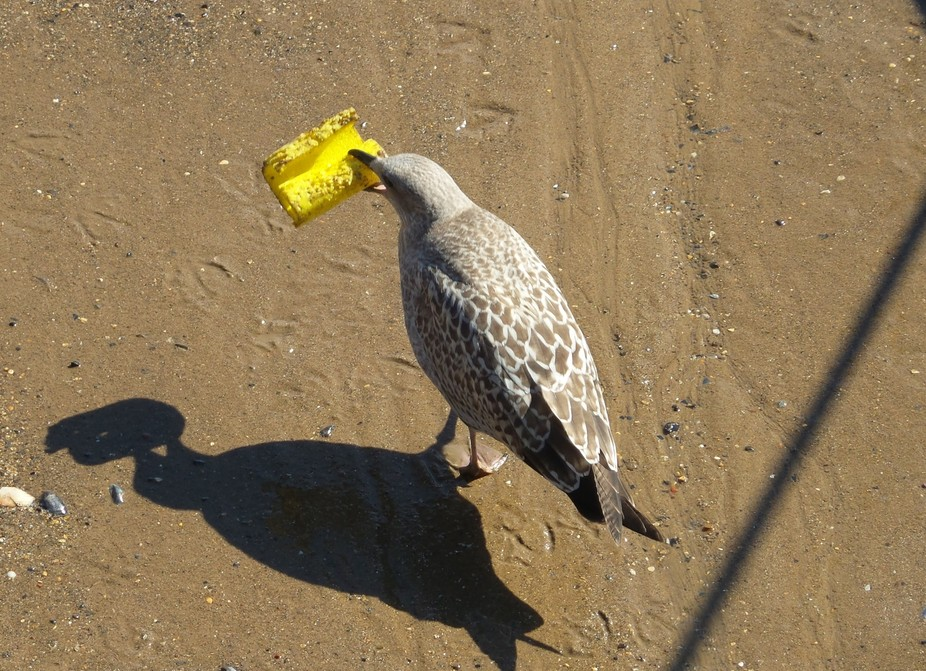 A young seagull which I saw in Bridlington harbour