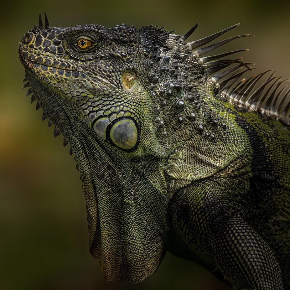 iguana-4 by David-B - Reptiles Photo Contest